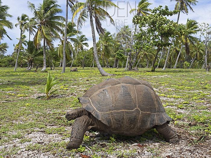 Aldabra giant tortoise (Aldabrachelys gigantea) Astove Atoll, Aldabra island group, Seychelles
