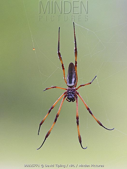 Palm spider (Nephila inaurata madagascariensis) on spider web, Alphonse Atoll, Seychelles