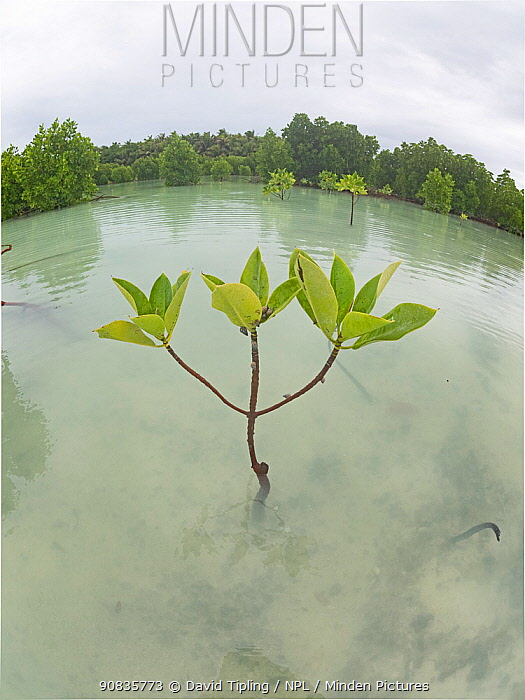 Red mangrove (Rhizophora mucronata), wide angle view, St Francois Atoll, Seychelles