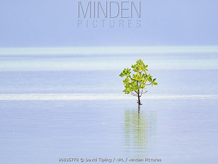 Red mangrove (Rhizophora mucronata) tree, alone on shore, St Francois Atoll, Seychelles.
