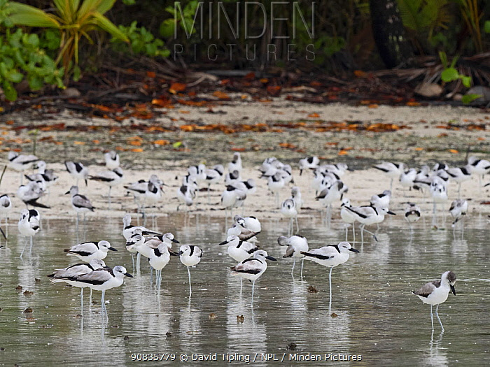 Crab plover (Dromas ardeola) flock in lagoon on St Francois Atoll, Seychelles.