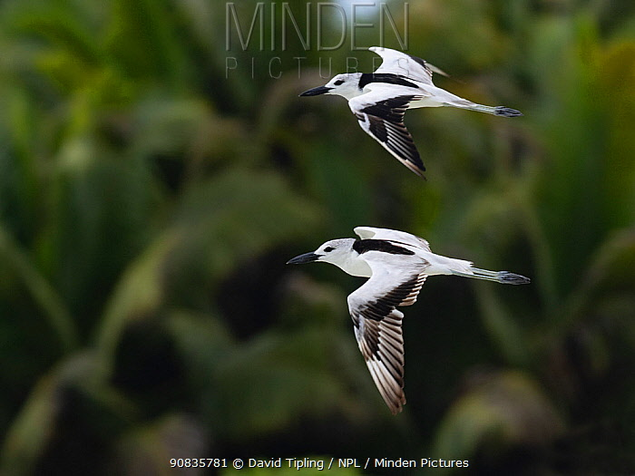 Crab plover (Dromas ardeola) two in flight, St Francois Atoll, Seychelles.