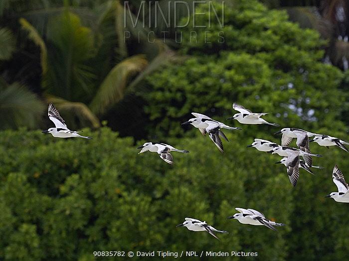 Crab plover (Dromas ardeola) flock in lagoon on St Francois Atoll, Seychelles.