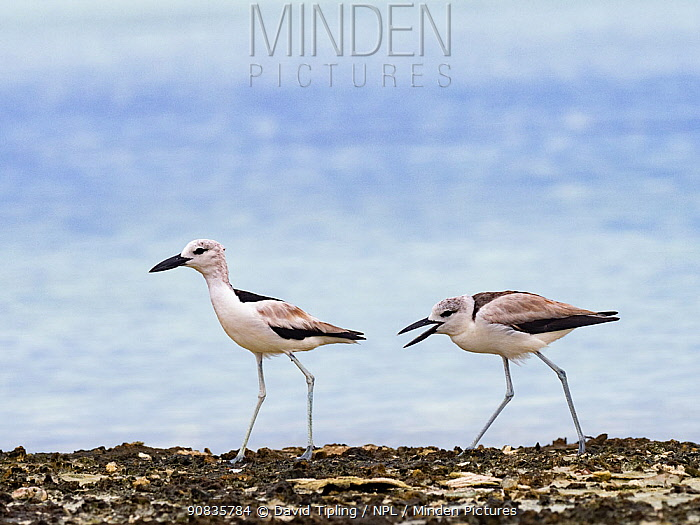 Crab plover (Dromas ardeola) juvenile begging for food from adult, on St Francois Atoll, Seychelles.