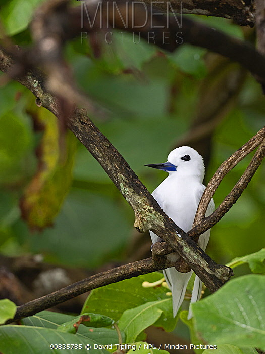 White / Fairy tern (Gygis alba) adult brooding chick on nest in fork of tree, St Francois Atoll, Seychelles