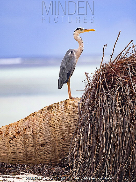 Grey heron (Ardea cinerea) on fallen palm on beach, Alphonse Atoll, Seychelles.