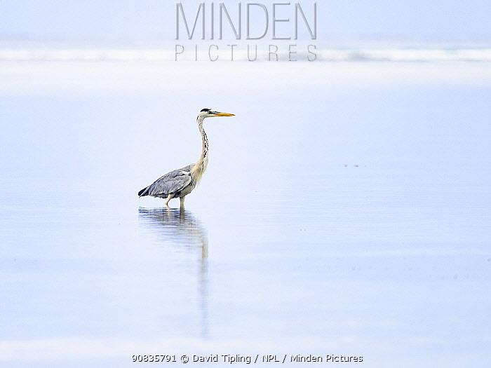 Grey heron (Ardea cinerea) reflected in water, Alphonse Atoll, Seychelles