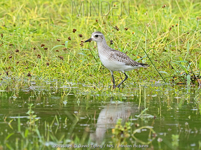 Grey plover (Pluvialis squatarola) in non breeding plumage, at waters edge Alphonse Atoll, Seychelles.