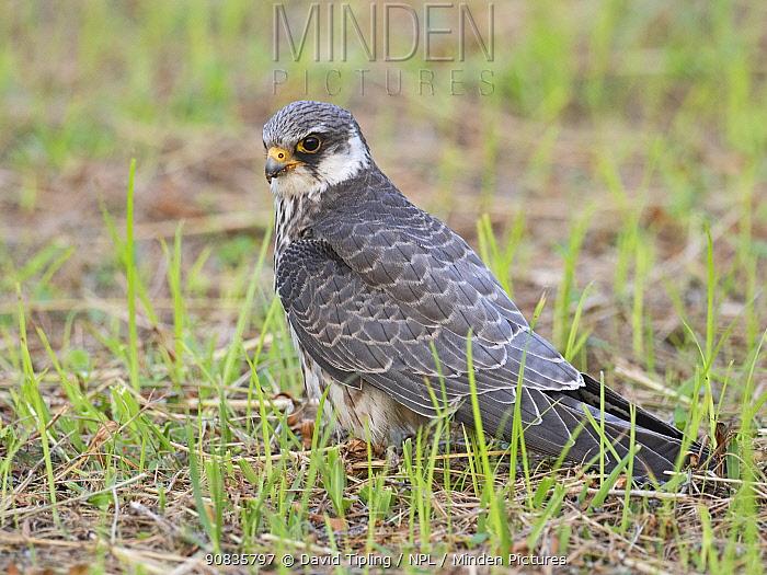 Amur falcon (Falco amurensis) female on ground,, Mahe, Seychelles.