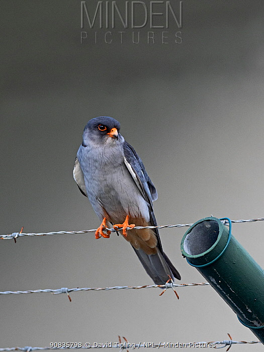 Amur falcon (Falco amurensis) male perched on barbed wire, Mahe, Seychelles.