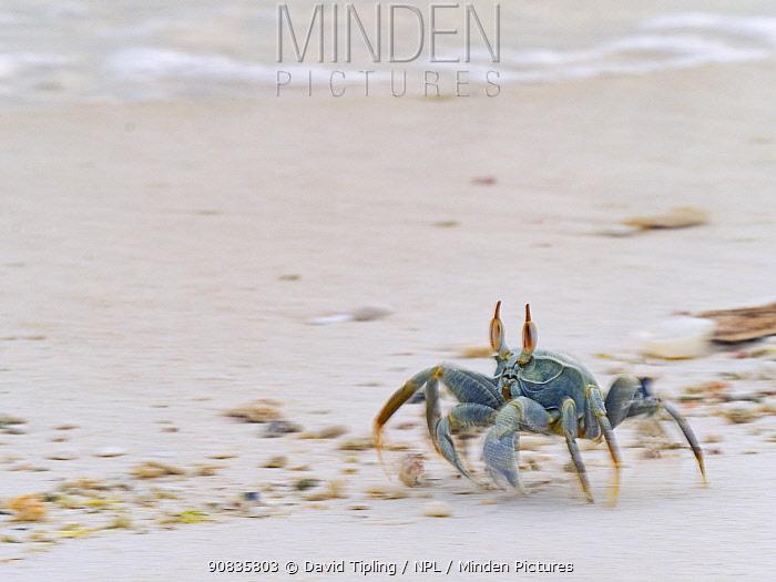 Horned ghost crab (Ocypode ceratophthalma) Wizard Island, Cosmoledo Atoll, Seychelles