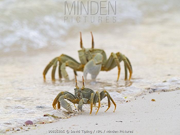 Horned ghost crabs (ocypode ceratophthalma) on beach, Wizard Island, Cosmoledo Atoll, Seychelles