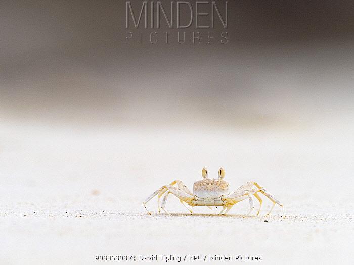Smooth-handed ghost crab (Ocypode cordimanus) Cosmoledo Atoll, Seychelles