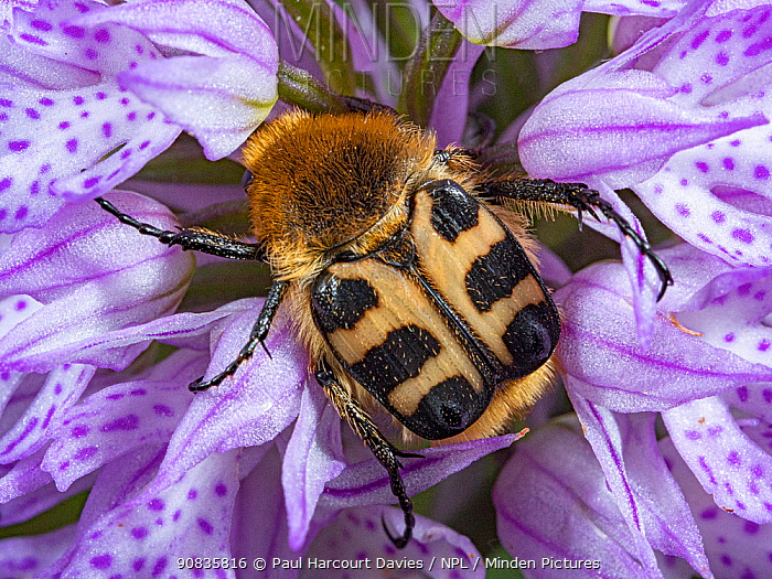 Bee beetle (Trichius fasciatus) usually found on flowers- in this case the Toothed orchid (Neotinea tridentata). Preci, Umbria, Italy, May.