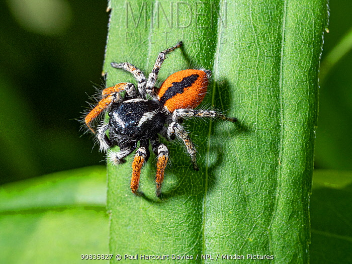 Jumping spider (Philaeus chrysops) Orvieto, Umrbia, Italy, May.