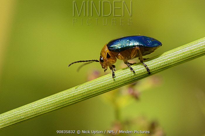 Metallic green leaf beetle (Sermylassa halensis) sunning on a grass stem in a chalk grassland meadow, Wiltshire, UK, July.
