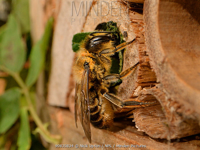 Leafcutter / Rose-cutter bee (Megachile willughbiella) using a circular section of a Rose leaf it has just cut to seal its nest in a Bamboo tube in an insect hotel, Wiltshire, UK, July.