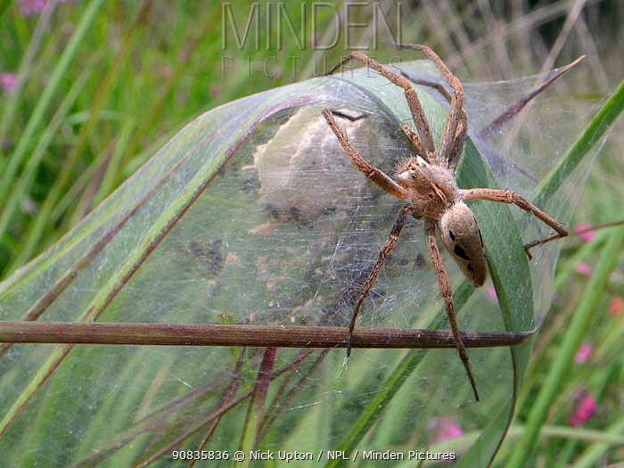 Female Nursery web spider (Pisaura mirabilis) guarding her spiderlings, recently hatched from an egg sac within a silken tent on vegetation in a marsh, Dorset, UK, July.