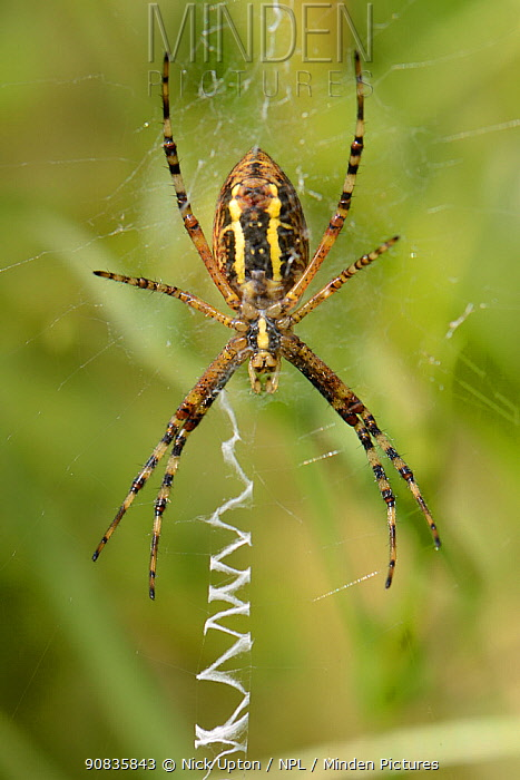 Wasp spider (Argiope bruennichi) female on her web next to zigzag stabilimenta threads, in a chalk grassland meadow, Wiltshire, UK, July. This species was first recorded in the UK in Sussex in 1922 and is steadily spreading further north and west towards the midlands.