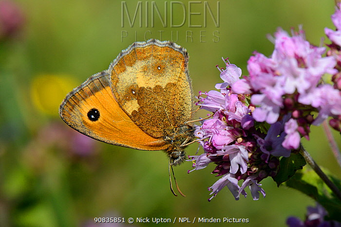 Gatekeeper / Hedge brown butterfly (Pyronia tithonus) nectaring on a Wild marjoram (Origanum vulgare) flowerhead, chalk grassland meadow, Wiltshire, UK, July.