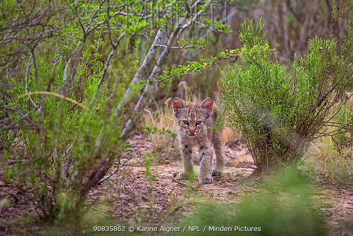 A wild Bobcat (Lynx rufus) kitten in the bush, Texas, USA. September.