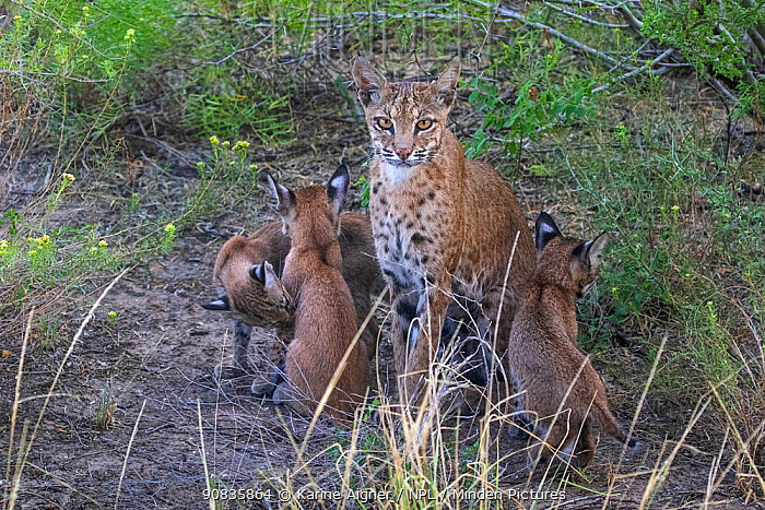 A wild female Bobcat (Lynx rufus) and her three kittens, Texas, USA. September.