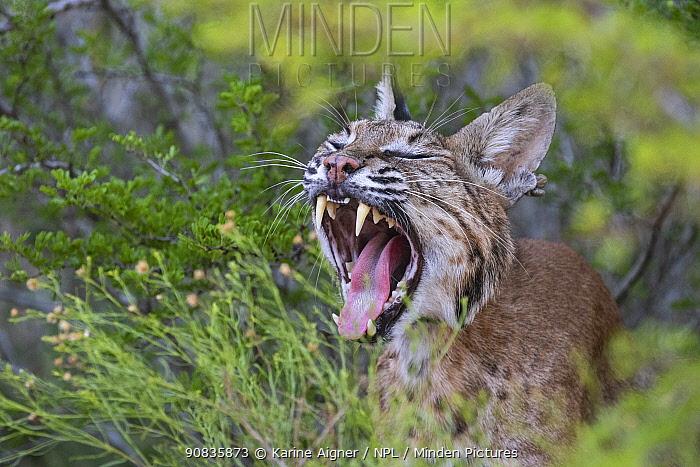 Portrait of a wild, yawning female adult Bobcat (Lynx rufus), Texas, USA. September.