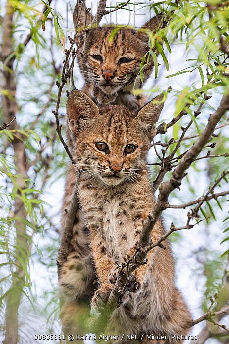 Portrait of two wild Bobcat (Lynx rufus) kittens in a tree, Texas, USA. September.