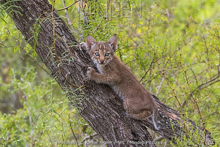 Portrait of a wild Bobcat (Lynx rufus) kitten with blue eyes climbing in a tree, Texas, USA. September.