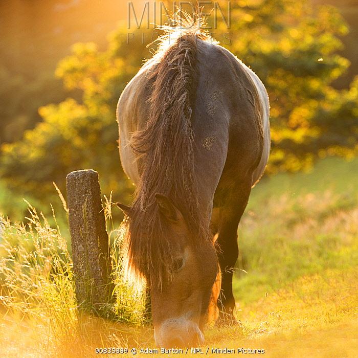 Exmoor Pony grazing in summer sunshine, Exmoor, Devon, England, UK. Digitally expanded