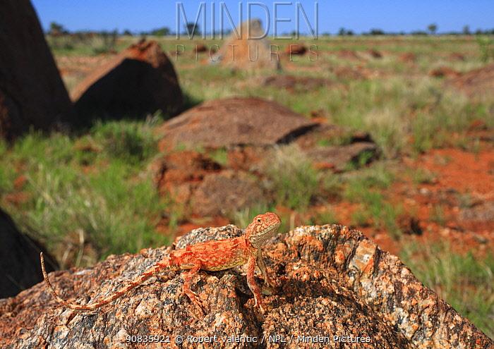 Gibber earless dragon (Tympanocryptis intima) male on rock, Dajarra, Western Queensland, Australia.