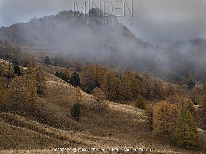 Larch trees (Larix decidua) in autumn, Alps, France. November 2013.