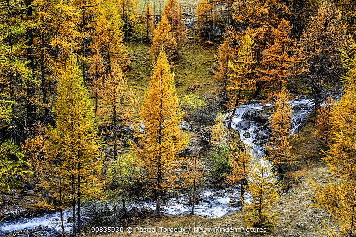 River flowing through Larch trees (Larix decidua) in autumn, Alps, France. November 2013.