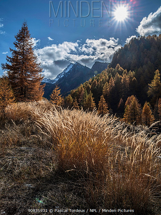 Landscape of mountains and larch trees (Larix decidua) in autumn, Alps, France. November 2013.