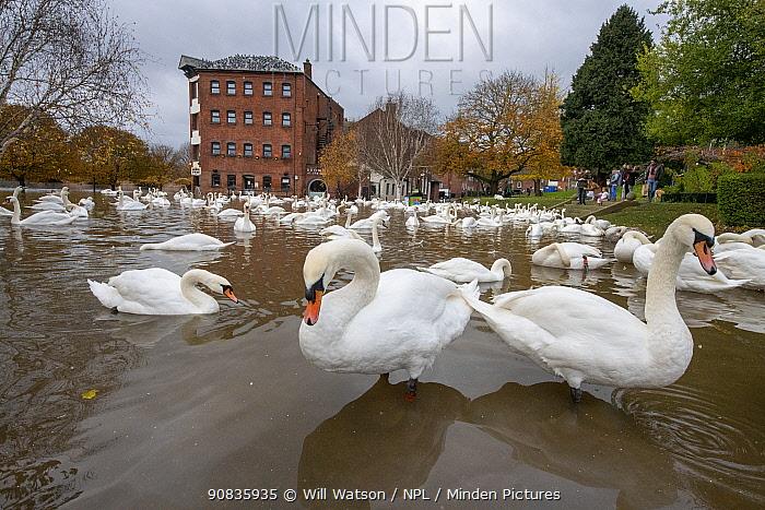 Mute Swans (Cygnus olor) during floods on the River Severn, Worcester Swan Sanctuary, November 2019.