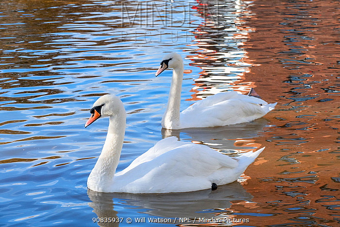 Mute Swans (Cygnus olor) and reflections of brick building, 2019 floods, River Severn, Worcester, England.