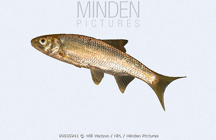 Common Dace (Leuciscus leuciscus) on white background, tributary of the River Lugg, Herefordshire, England. Controlled conditions.