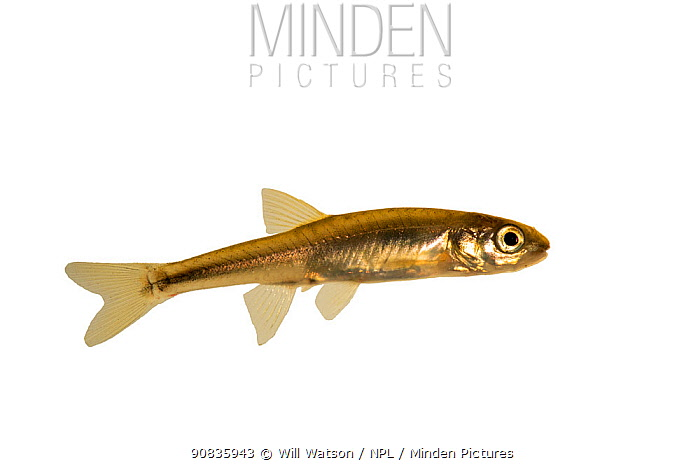 Young Common Minnow (Phaxinus phoxinus) on white background, River Lugg, Herefordshire, England, December. Controlled conditions.