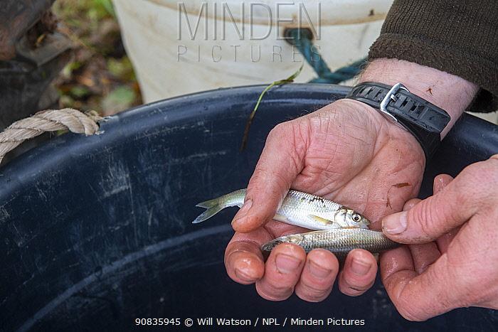 Counting Common Bleak (Alburnus alburnus) whilst electro-fishing, tributary of the River Lugg, Herefordshire, England.