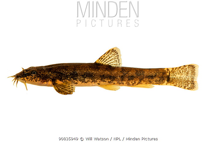 Stone Loach (Barbatula barbatula) on white background, Laugherne Brook, Worcestershire, England. Controlled conditions.