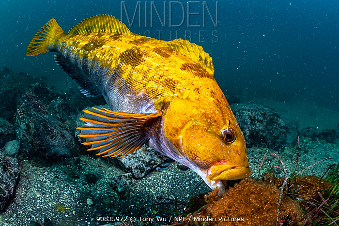 A mature male Fat greenling (Hexagrammos otakii) or Ainame fish tending to eggs in his territory, Hokkaido, Japan. October.