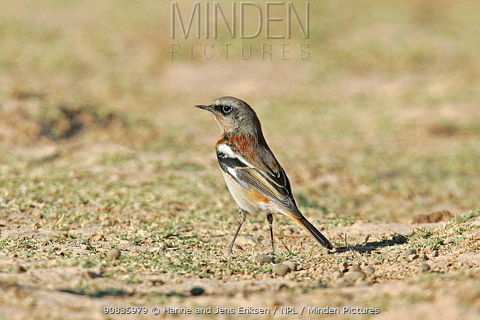 Eversmann's redstart (Phoenicurus erythronotus) male, Oman, November