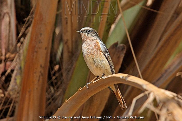 Eversmann's redstart (Phoenicurus erythronotus) male, Oman, January