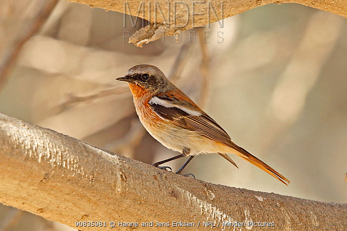 Eversmann's redstart (Phoenicurus erythronotus) male, Oman, February