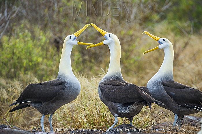 Waved albatrosses (Phoebastria irrorata) courting, Punta Suarez, Espanola Island, Galapagos.