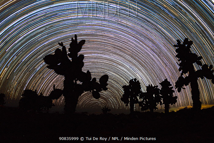 Tree prickly pear (Opuntia echios) trees silhouetted, with star trails behind. Plazas Island, Galapagos.