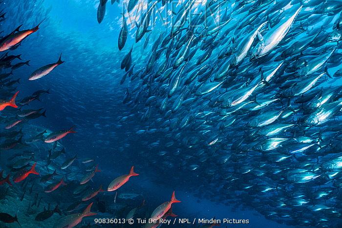 Bonito (Sarda orientalis) shoal swimming past the undersea base of Darwin's Arch. Darwin (Culpepper) Island, Galapagos.