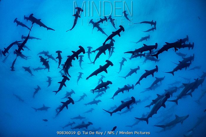 Scalloped hammerhead shark shoal (Sphyrna lewini) Wolf Island, Galapagos.