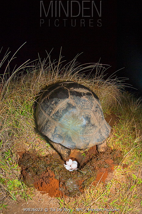 Alcedo giant tortoise (Chelonoidis vandenburghi) female egg laying at night, Alcedo Volcano, Isabela Island, Galapagos.