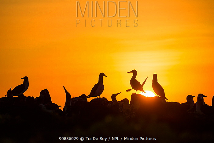 Blue-footed booby (Sula nebouxii) silhouetted colony at sunset, Cape Douglas, Fernandina Island, Galapagos.